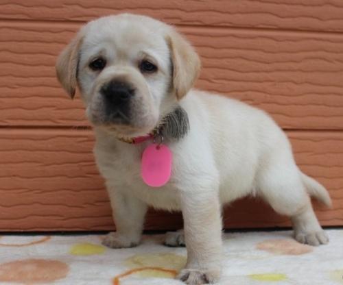 ラブラドールレトリバーの子犬(ID:1247411458)の3枚目の写真/更新日:2018-11-15