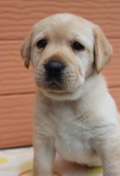 ラブラドールレトリバーの子犬(ID:1247411459)の1枚目の写真/更新日:2018-11-15