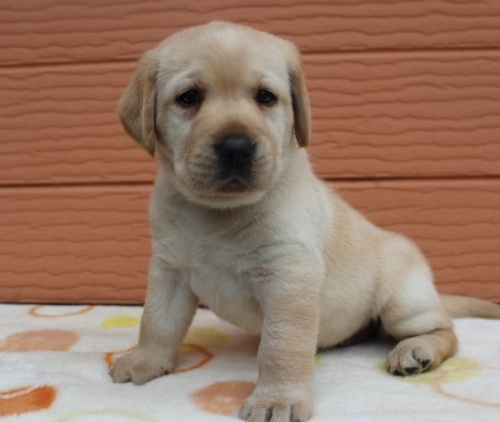 ラブラドールレトリバーの子犬(ID:1247411459)の2枚目の写真/更新日:2018-11-15