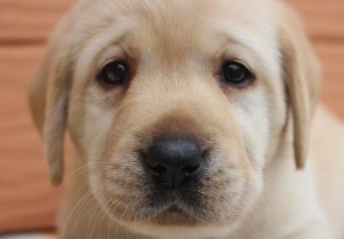 ラブラドールレトリバーの子犬(ID:1247411459)の4枚目の写真/更新日:2018-11-15
