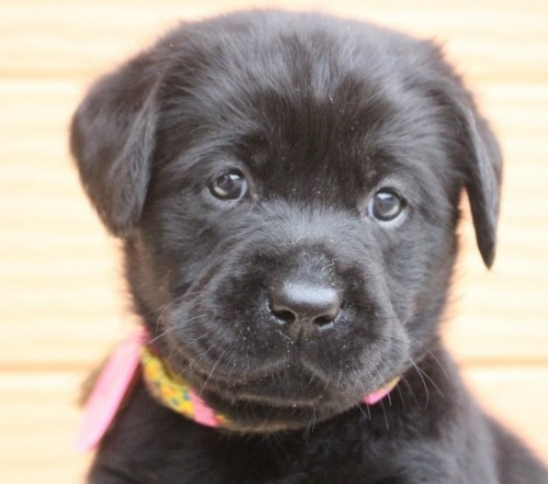 ラブラドールレトリバーの子犬(ID:1247411460)の1枚目の写真/更新日:2017-12-09