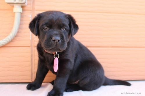 ラブラドールレトリバーの子犬(ID:1247411461)の2枚目の写真/更新日:2017-10-30
