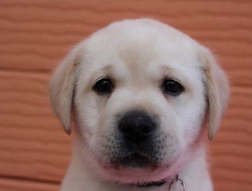 ラブラドールレトリバーの子犬(ID:1247411462)の1枚目の写真/更新日:2018-10-02