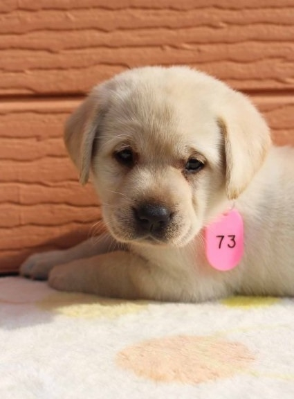 ラブラドールレトリバーの子犬(ID:1247411463)の1枚目の写真/更新日:2017-11-09