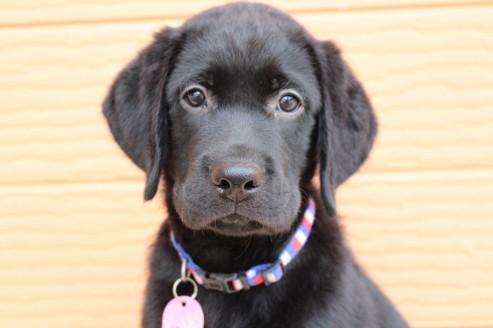 ラブラドールレトリバーの子犬(ID:1247411464)の1枚目の写真/更新日:2017-11-09