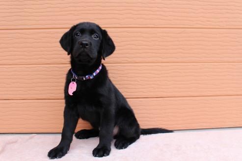 ラブラドールレトリバーの子犬(ID:1247411464)の2枚目の写真/更新日:2018-11-15