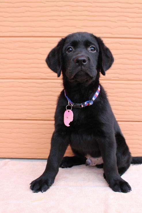 ラブラドールレトリバーの子犬(ID:1247411464)の3枚目の写真/更新日:2018-11-15