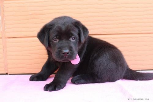 ラブラドールレトリバーの子犬(ID:1247411465)の2枚目の写真/更新日:2018-11-15