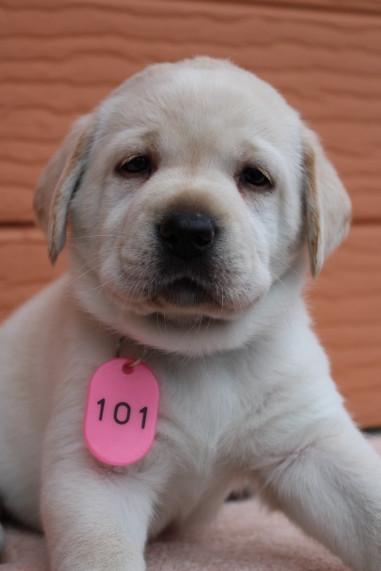 ラブラドールレトリバーの子犬(ID:1247411466)の1枚目の写真/更新日:2017-11-09