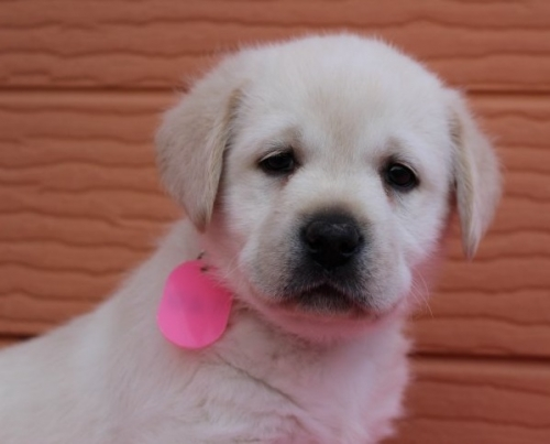 ラブラドールレトリバーの子犬(ID:1247411467)の1枚目の写真/更新日:2017-12-09