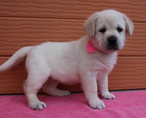 ラブラドールレトリバーの子犬(ID:1247411467)の2枚目の写真/更新日:2017-12-09