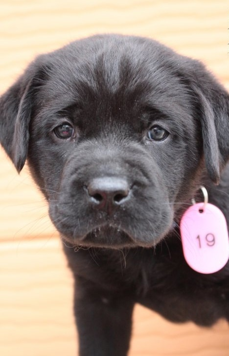 ラブラドールレトリバーの子犬(ID:1247411468)の1枚目の写真/更新日:2018-12-07
