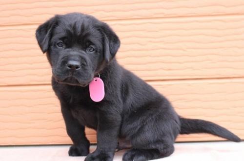 ラブラドールレトリバーの子犬(ID:1247411468)の2枚目の写真/更新日:2017-12-09