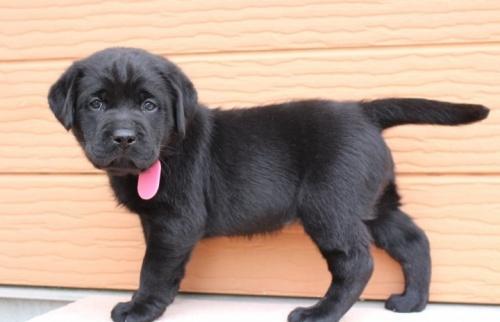 ラブラドールレトリバーの子犬(ID:1247411468)の3枚目の写真/更新日:2017-11-09