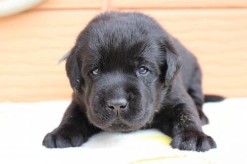 ラブラドールレトリバーの子犬(ID:1247411469)の1枚目の写真/更新日:2017-12-09