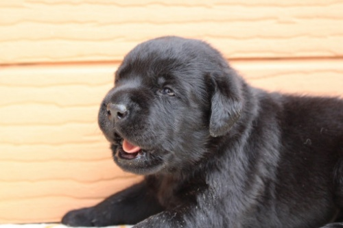 ラブラドールレトリバーの子犬(ID:1247411469)の2枚目の写真/更新日:2017-12-09