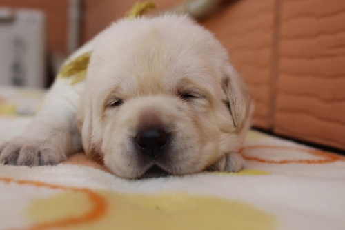 ラブラドールレトリバーの子犬(ID:1247411470)の2枚目の写真/更新日:2017-11-09