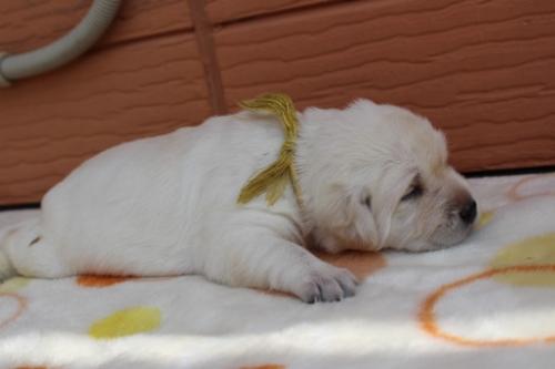 ラブラドールレトリバーの子犬(ID:1247411470)の3枚目の写真/更新日:2018-12-07