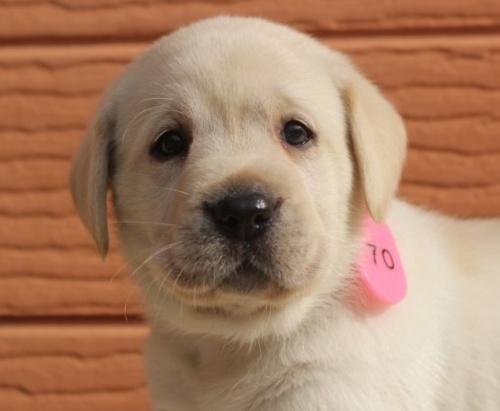 ラブラドールレトリバーの子犬(ID:1247411471)の1枚目の写真/更新日:2018-12-07