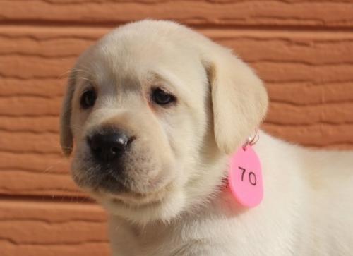 ラブラドールレトリバーの子犬(ID:1247411471)の3枚目の写真/更新日:2018-12-07