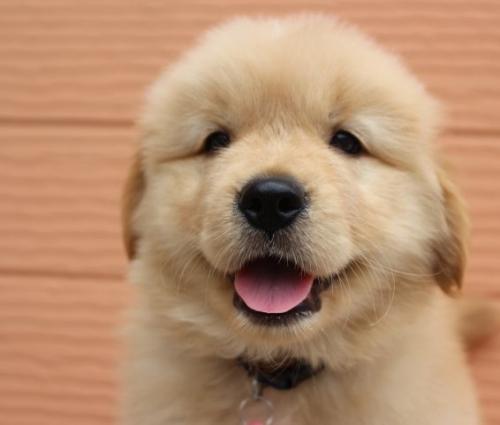 ゴールデンレトリバーの子犬(ID:1247411473)の1枚目の写真/更新日:2017-11-09