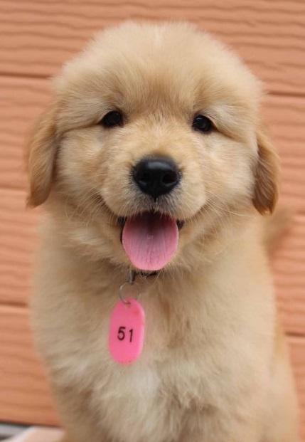 ゴールデンレトリバーの子犬(ID:1247411473)の2枚目の写真/更新日:2017-11-09