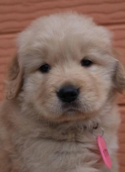 ゴールデンレトリバーの子犬(ID:1247411474)の1枚目の写真/更新日:2017-11-09