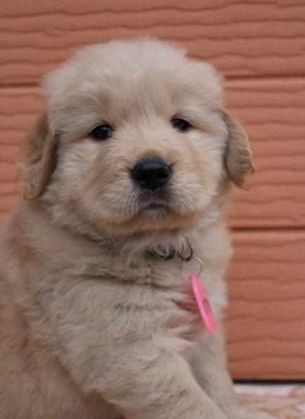 ゴールデンレトリバーの子犬(ID:1247411474)の2枚目の写真/更新日:2017-11-09