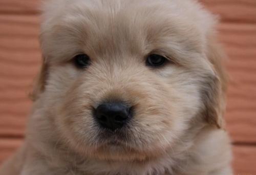 ゴールデンレトリバーの子犬(ID:1247411474)の3枚目の写真/更新日:2017-11-09