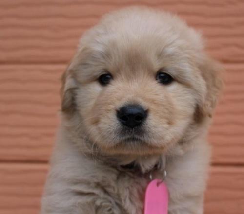 ゴールデンレトリバーの子犬(ID:1247411475)の1枚目の写真/更新日:2019-02-08