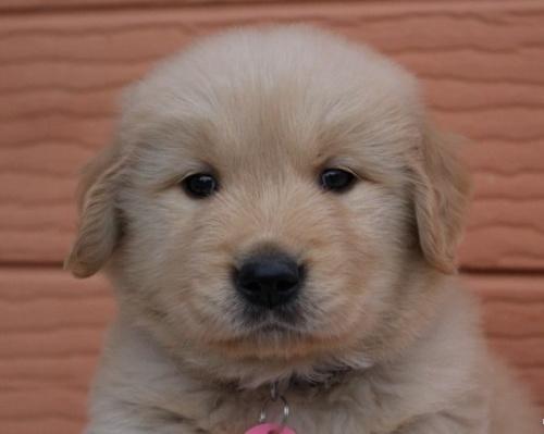 ゴールデンレトリバーの子犬(ID:1247411476)の1枚目の写真/更新日:2017-11-09