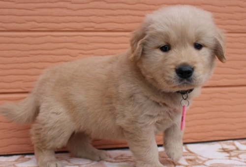 ゴールデンレトリバーの子犬(ID:1247411476)の2枚目の写真/更新日:2017-11-09