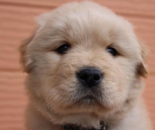 ゴールデンレトリバーの子犬(ID:1247411477)の1枚目の写真/更新日:2017-11-09