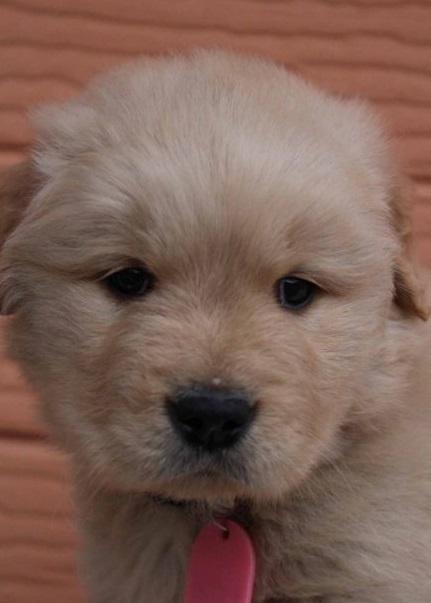 ゴールデンレトリバーの子犬(ID:1247411477)の3枚目の写真/更新日:2017-11-09