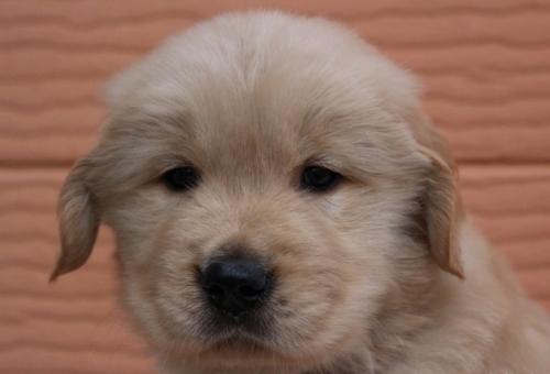 ゴールデンレトリバーの子犬(ID:1247411478)の1枚目の写真/更新日:2017-12-29