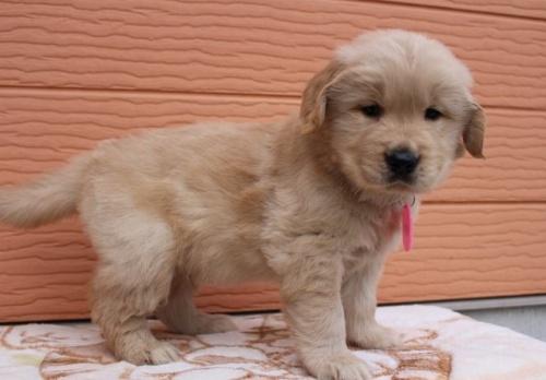 ゴールデンレトリバーの子犬(ID:1247411478)の2枚目の写真/更新日:2017-12-29