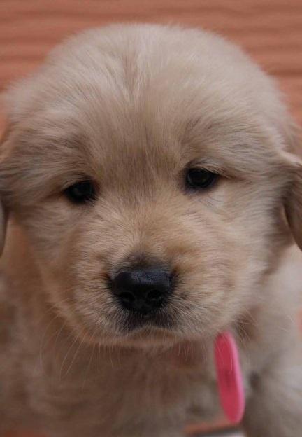 ゴールデンレトリバーの子犬(ID:1247411478)の3枚目の写真/更新日:2017-12-29