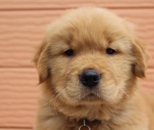 ゴールデンレトリバーの子犬(ID:1247411480)の1枚目の写真/更新日:2017-12-29