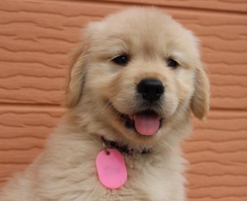 ゴールデンレトリバーの子犬(ID:1247411481)の1枚目の写真/更新日:2017-12-29