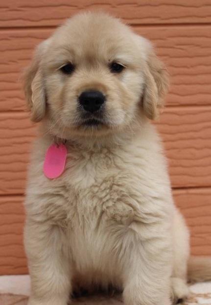 ゴールデンレトリバーの子犬(ID:1247411481)の3枚目の写真/更新日:2017-12-29
