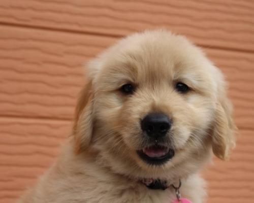 ゴールデンレトリバーの子犬(ID:1247411482)の1枚目の写真/更新日:2017-12-29