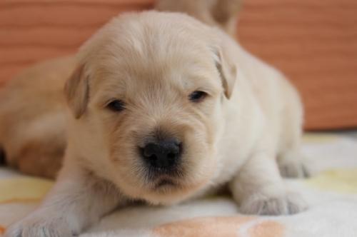 ゴールデンレトリバーの子犬(ID:1247411483)の1枚目の写真/更新日:2017-12-29