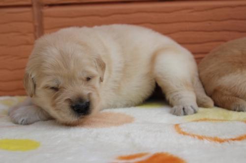 ゴールデンレトリバーの子犬(ID:1247411483)の2枚目の写真/更新日:2017-12-29