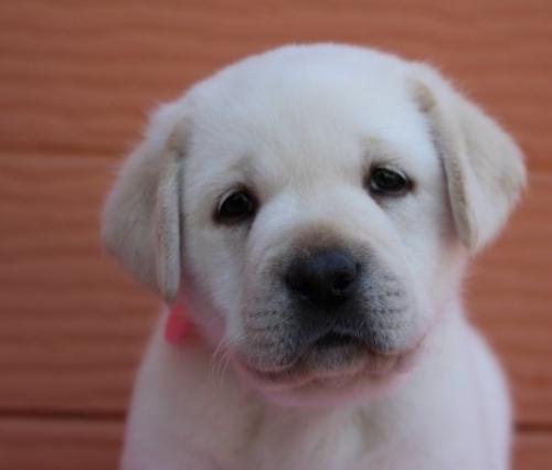 ゴールデンレトリバーの子犬(ID:1247411484)の2枚目の写真/更新日:2017-12-29