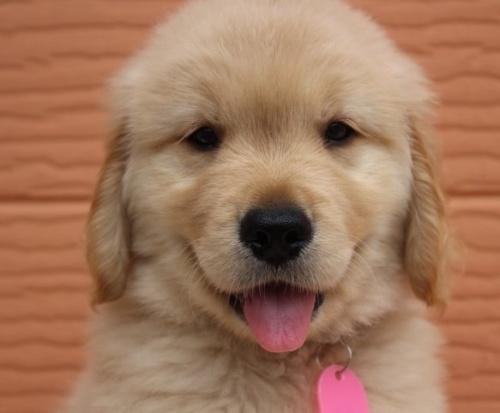 ゴールデンレトリバーの子犬(ID:1247411485)の1枚目の写真/更新日:2017-12-29