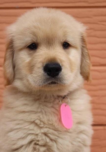 ゴールデンレトリバーの子犬(ID:1247411485)の2枚目の写真/更新日:2017-12-29