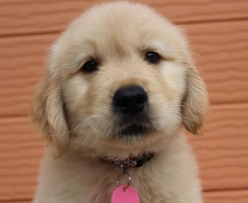 ゴールデンレトリバーの子犬(ID:1247411486)の1枚目の写真/更新日:2017-12-29
