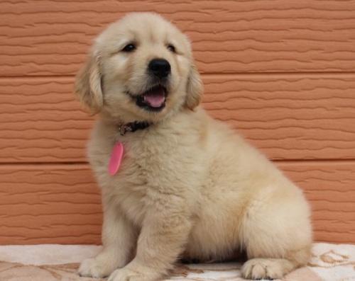 ゴールデンレトリバーの子犬(ID:1247411486)の3枚目の写真/更新日:2017-12-29