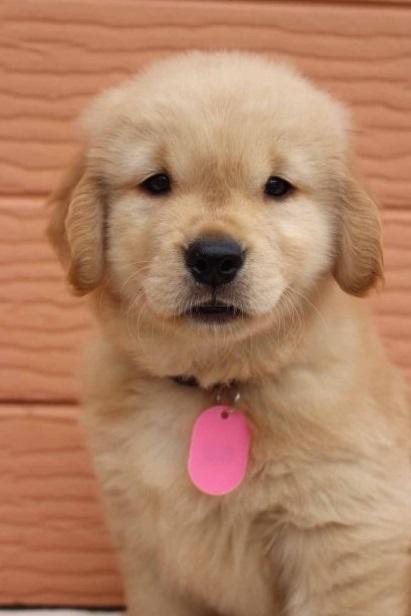 ゴールデンレトリバーの子犬(ID:1247411487)の3枚目の写真/更新日:2017-12-29