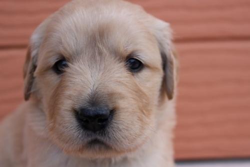 ゴールデンレトリバーの子犬(ID:1247411490)の1枚目の写真/更新日:2018-02-19